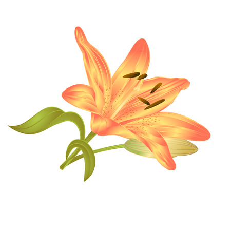 Yellow Lily Lilium candidum, a flower with leaves and bud on a white background vector illustration editable Hand drawn