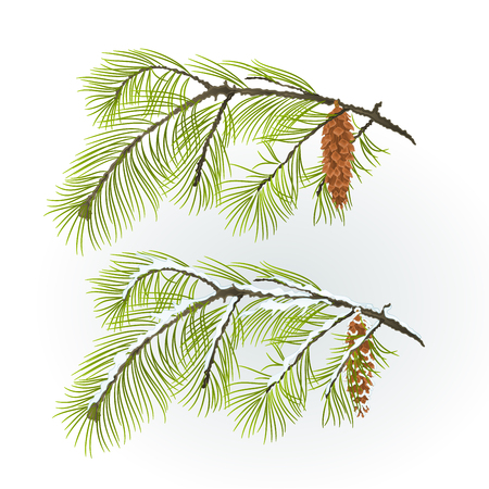 White Pine branch with pine cone autumnal and winter snowy natural background vector illustration editable hand draw Illustration