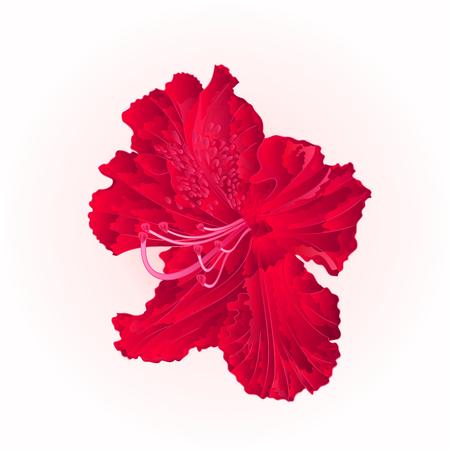 Red blossom rhododendron  vintage editable vector illustration  hand draw Illustration