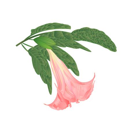 Brugmansia suaveolens medicinal flower pink Angels Trumpet on a white background vintage vector illustration editable hand draw