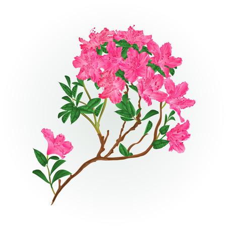 Pink rhododendron branch mountain shrub vintage vector illustration editable hand draw Ilustração