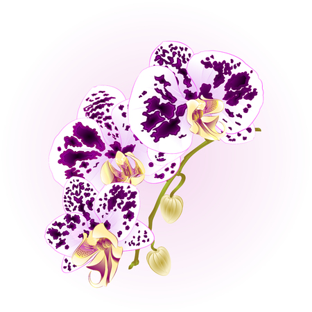 wite: Stem Orchid Phalaenopsis spotted wite and purple flowers and buds tropical plants  vintage vector botanical illustration for design hand draw