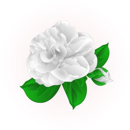 Flower white Camellia Japonica vector illustration.