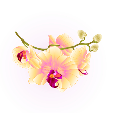 Branch orchids flower yellow Phalaenopsis tropical plant stem vector illustration.