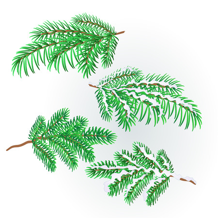 Branches Spruce  lush conifer autumnal and winter snowy natural background vector illustration editable hand draw