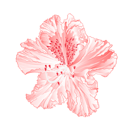 Flower light pink rhododendron mountain shrub vintage  vector illustration editable hand draw