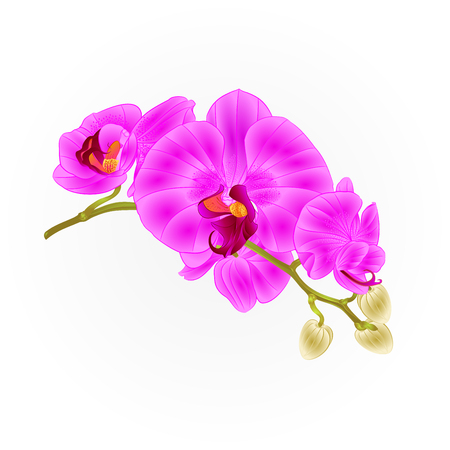 Stem of purple and white orchid flowers isolated on white. Phalaenopsis tropical plant