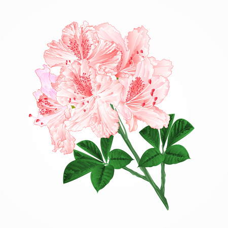 Light pink rhododendrons twig isolated on white. Mountain shrub editable hand drawn illustration