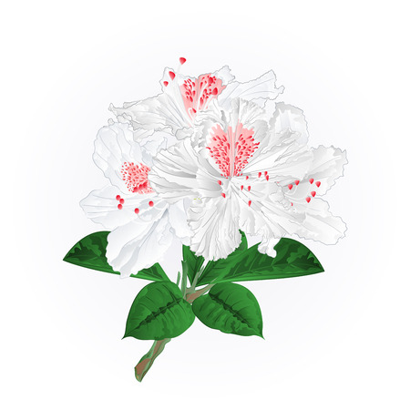 white rhododendrons twig isolated on white. Mountain shrub editable hand drawn illustration