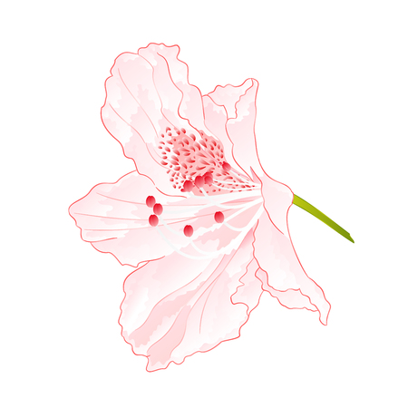 Flower shrub Light pink rhododendron isolated on white. Editable hand-drawn illustration