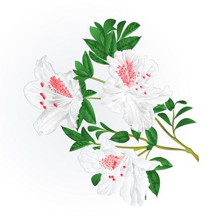 White rhododendron twig mountain shrub vintage vector illustration editable hand draw Иллюстрация