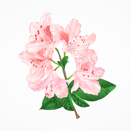 Light pink rhododendron twig mountain shrub vintage vector illustration editable hand draw Illustration