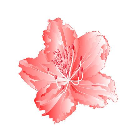 Light pink rhododendron twig mountain shrub vintage vector illustration editable hand draw Illustration