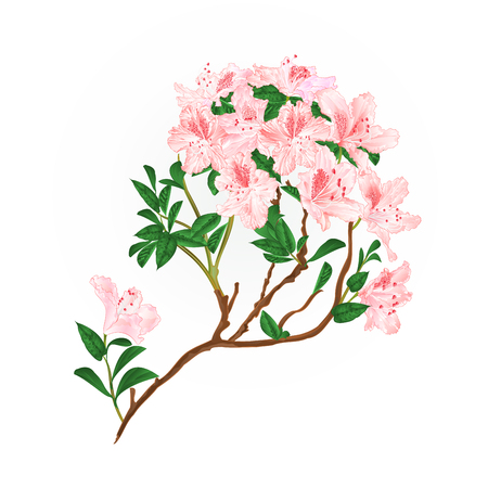 Light pink rhododendron branch mountain shrub vintage vector illustration editable hand draw