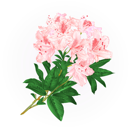 Branch light pink flowers rhododendron mountain shrub vintage vector illustration.