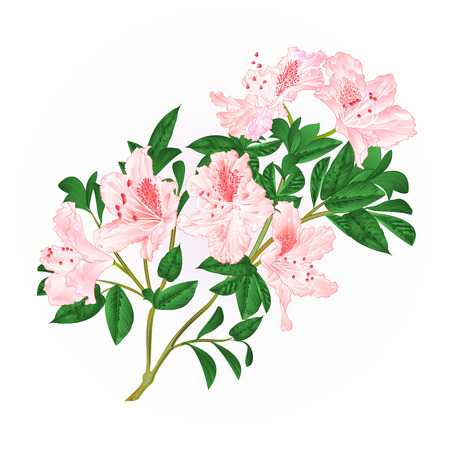 Light pink rhododendron twig with flowers and leaves mountain shrub vintage hand draw vector illustration. Vectores