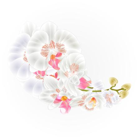 Stem orchids  white flowers  Phalaenopsis tropical plant   vintage vector botanical illustration for design hand draw Ilustrace