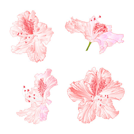 Blossoms rhododendrons light pink set first on a white background vintage vector illustration editable hand draw.