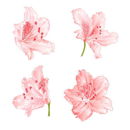 Blossoms light pink rhododendrons set two on a white background vintage vector illustration editable hand draw. Illustration