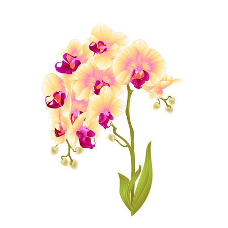 Branches orchid Phalaenopsis yellow flowers and leaves tropical plants stem and buds on a white background vintage vector botanical illustration for design editable hand draw.