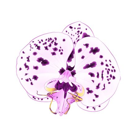 Phalaenopsis Purple and white beautiful flower