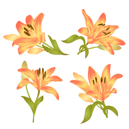 Yellow Lily Lilium candidum, flower with leaves and bud on a white background set of first vintage vector illustration editable hand drawn Illustration