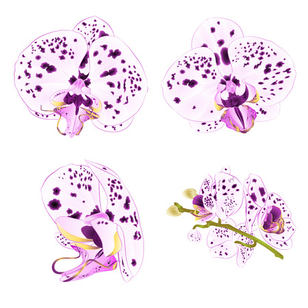Orchids Phalaenopsis with dots purple and white close-up beautiful flower isolated set on white background vintage vector illustration editable hand draw