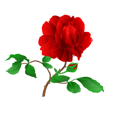 Rose flower red rose with leaves and bud on a white background