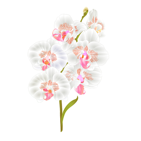 Branch orchid Phalaenopsis white flowers and leaves tropical plants stem and buds on a white background