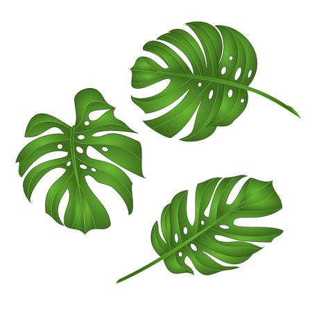 Philodendron tropical jungle leaves isolated on white background
