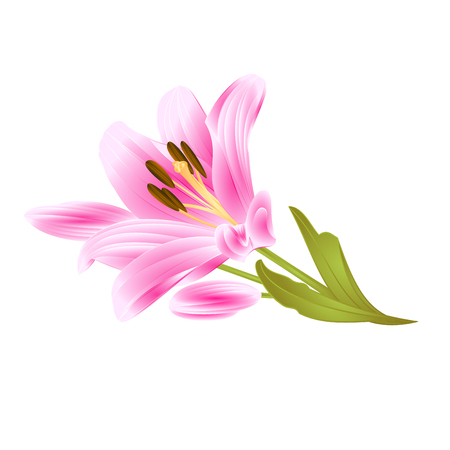 Pink Lily Lilium candidum, flower with leaves and bud isolated on white background vintage vector illustration editable hand drawn