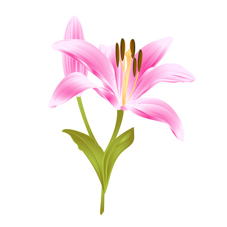 Pink flower Lily Lilium candidum on a white background
