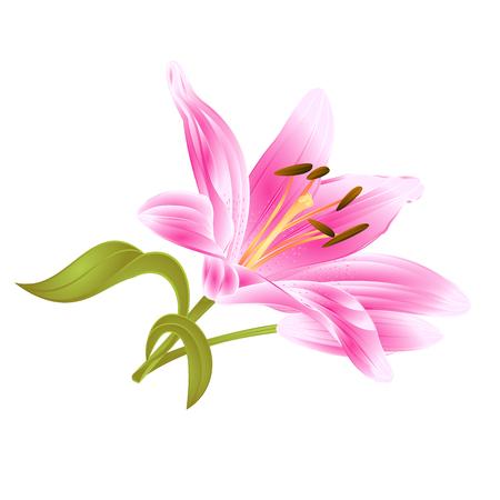 Flower pink Lily Lilium candidum editable on a white background vector editable illustration Hand drawing Vektorové ilustrace