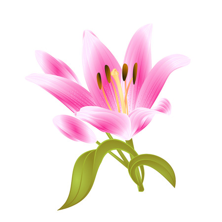 Lilium candidum Pink flower on a white background