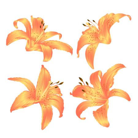 Lily yellow Lilium candidum, and white flowers set on white background Vintage vector illustration editable Hand drawn Vektorové ilustrace