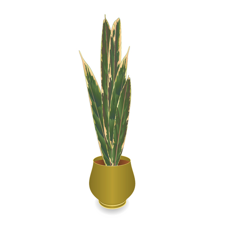 Exotic plant Sansevieria hauseplant for home decoration isolated on white background vintage vector illustration editable hand draw