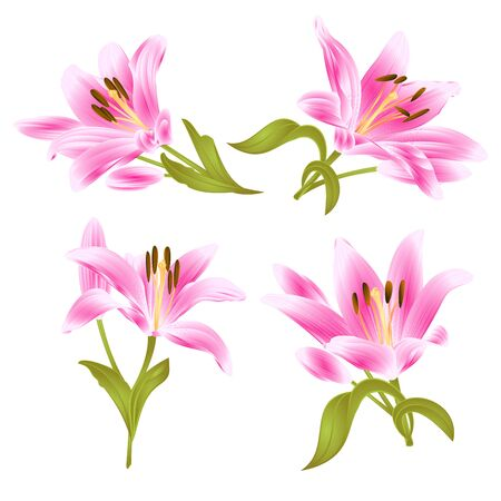 Pink lily flower with leaves and bud isolated on set of two vintage vector illustration editable hand drawn