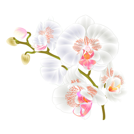 Branch of Orchids White Flowers Phalaenopsis tropical plant on a white background