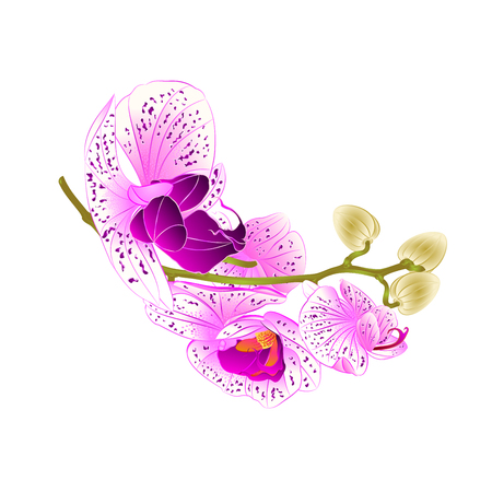 Stem beautiful lila and white Phalaenopsis orchid on white background vintage vector illustration editable hand draw.