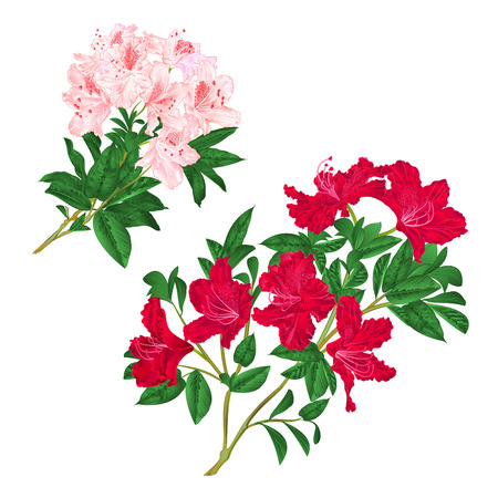 Branches light pink and red flowers rhododendrons mountain shrub on a white background. Set six vintage vector illustration. Ilustracja