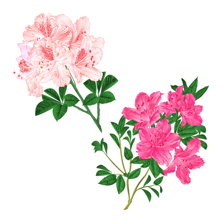Branches light pink and pink flowers rhododendrons  mountain shrub on a white background set six vintage vector illustration editable hand draw