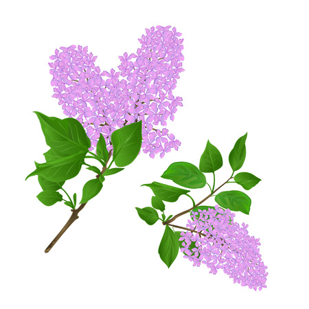 Lilac twigs with flowers and leaves vintage set first vector illustration hand draw  editable