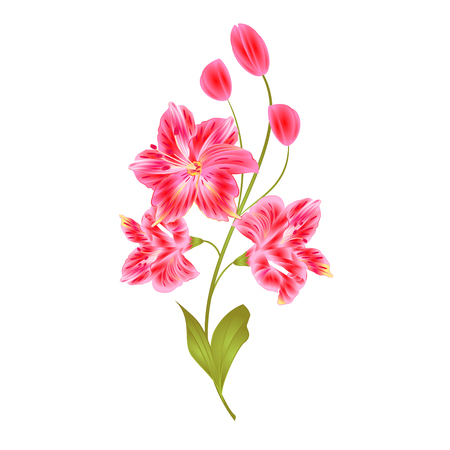 Bunch of pink Lily Alstroemeria stem flower with buds and leaves closeup isolated vintage vector illustration for design editable hand draw