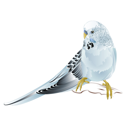 Budgerigar, blue pet parakeet  or budgie or shell parakeet home pet on a white background vintage vector illustration editable hand draw