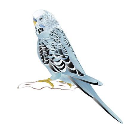 Budgerigar, home pet ,blue pet parakeet  or budgie or shell parakeet  on a white background vintage vector illustration editable hand draw