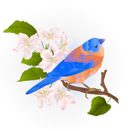 Bluebird small thrush songbirdon on an apple tree branch vintage vector illustration editable hand draw