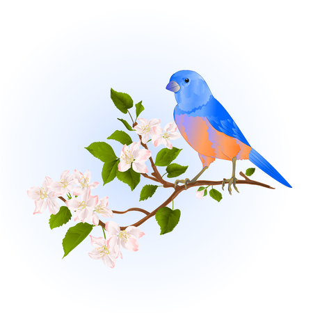 Bluebird  thrush small songbirdon on an apple tree branch with flowers vintage vector illustration editable hand draw