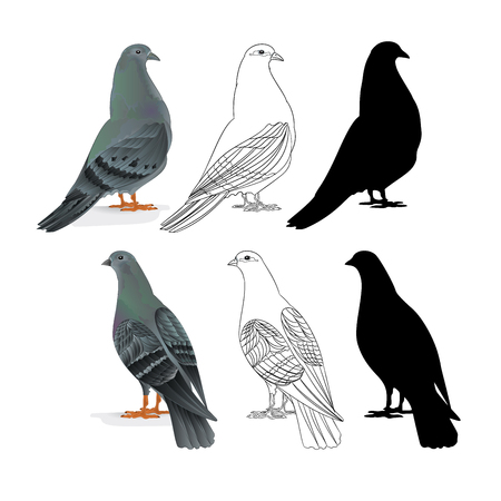 Carriers pigeons domestic breeds sports birds natural and outline and silhouette vintage  set one vector  animals illustration for design editable hand draw Stock Illustratie