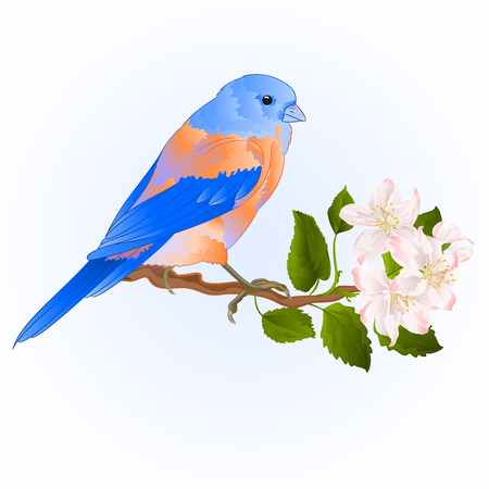 Small thrush Bluebird songbirdon on a apple trre with flowers vintage vector illustration editable hand draw Illustration