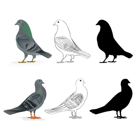 Pigeons Carriers  domestic breeds sports birds natural and outline and silhouette vintage  set two vector  animals illustration for design editable hand draw 矢量图像
